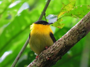 A photo of a Golden-collared Manakin whilst birdwatching on Pipeline Road Panama