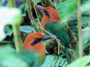A photo of Broad-billed Motmots, birding Pipeline Road Panama