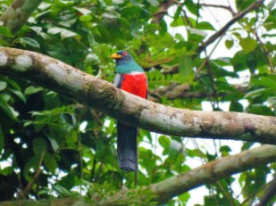 A photo of a Black-tailed Trogon on Pipeline Road, Panama