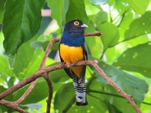 A photo of a Gartered Trogon, birdwatching Pipeline Road Panama