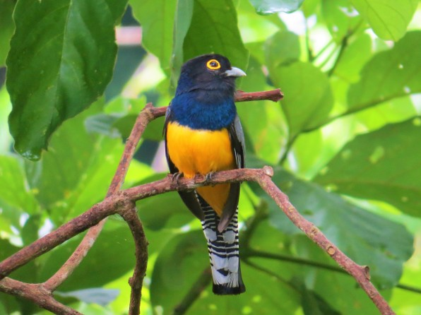 A photo of a Gartered Trogon, birdwatching Pipeline Road Panama