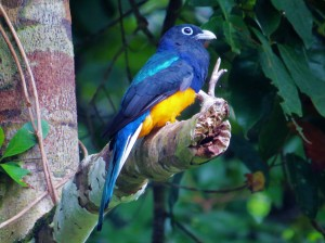 A photo of a White-tailed Trogon whilst birding Pipeline Road, Panama