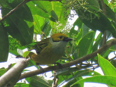 A photo of Silver-throated Tanager whilst birdwatching at Altos De Compana National Park