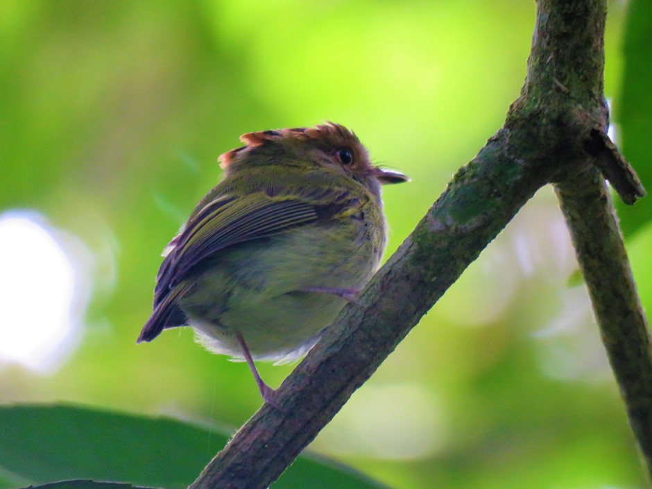 A photo of a Scale-crested Pygmy Tyrant, birding Altos De Compana National Park