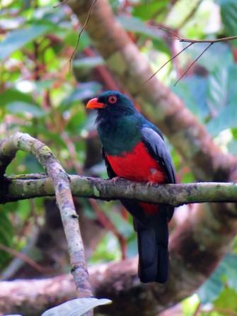 A photo of a Slaty-tailed Trogon, birdwatching Pipeline Road, Panama