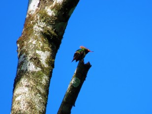 A photo of a Rufous-crested Coquette taken during a birdwatching tour on Pipeline Road, Panama