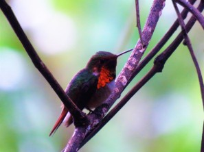 A photo of a Scintillant Hummingbird on a Birdwatching Tour of Western Panama