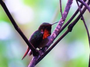 A photo of a Scintillant Hummingbird on a Birdwatching Tour of Western Panama