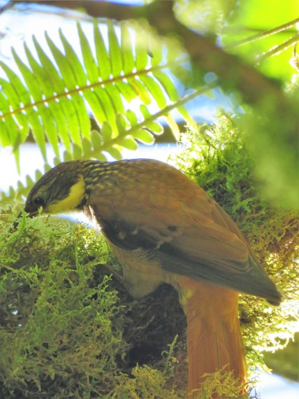 A photo of a Buffy Tuftedcheek whilst on a birdwatching tour of Western Panama