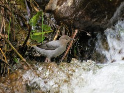 A photo of an American Dipper whilst on a Birdwatching tour of Western Panama