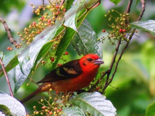 A photo of a Flame-colored Tanager whilst on a birdwatching tour of Western Panama