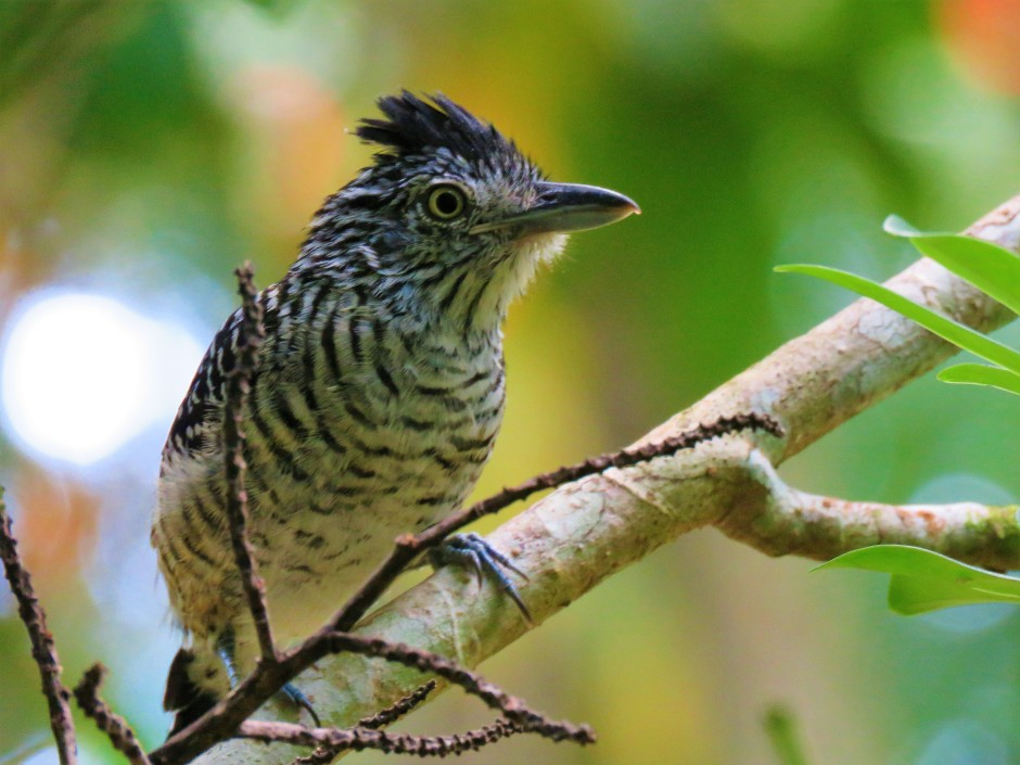 A photo of a Barred Antshrike whilst Birdwatching Gamboa, Panama