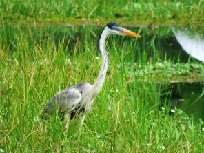 A photo of a Cocoi Heron whilst Birdwatching Gamboa near Pipeline Road