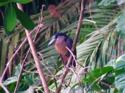 A photo of a Boat-billed heron, seen whilst on a bird tour of Old Gamboa Road, Panama