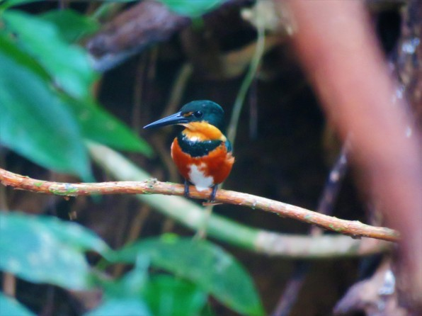 A photo of an American Pygmy Kingfisher, Birding Pipeline Road Tour