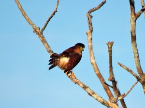 A photo of a Tiny Hawk on a Bird Tour of Pipeline Road