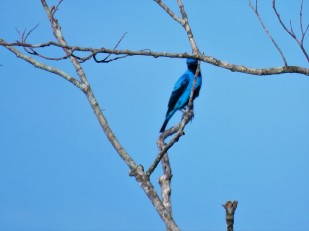 A photo of a Blue Cotinga whilst Birdwatching near Pipeline Road Panama