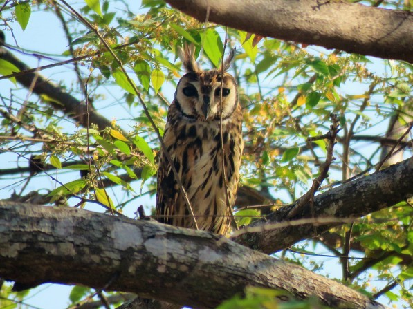A photo of a Striped Owl during a birdwatching trip with Panama Pipeline Bird Tours