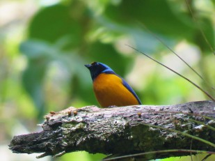 A photo of an Elegant Euphonia during a birdwatching trip with Panama Pipeline Bird Tours