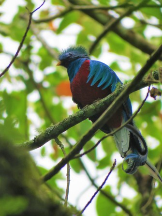 A photo of a Resplendent Quetzal during a birdwatching trip with Panama Pipeline Bird Tours
