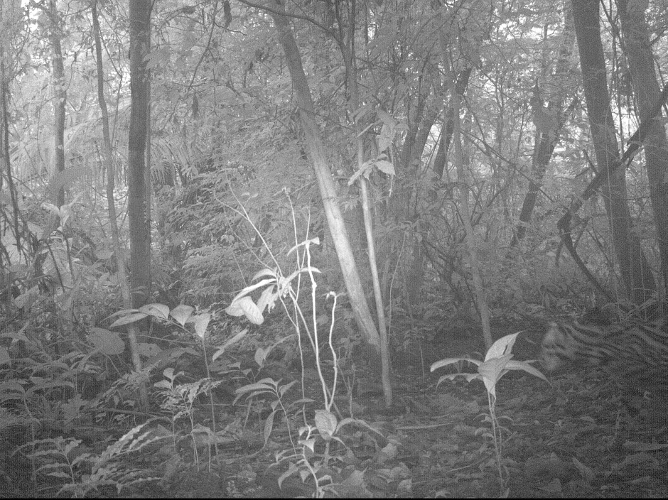 Photo of an Ocelot on the Panama Pipeline Bird Tours trail camera