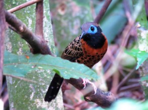 A photo of an Ocellated Antbird on a tour of Pipeline Road, Panama