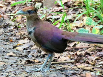 A photo of a Rufous-vented Ground-Cuckoo whilst birdwatching Pipeline Road Panama.