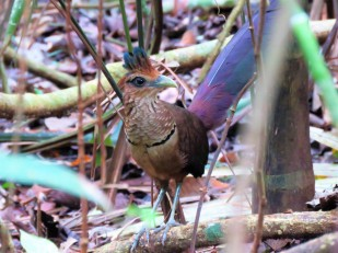 A photo of a Rufous-vented Ground-Cuckoo whilst Birding Pipeline Road, Panama.