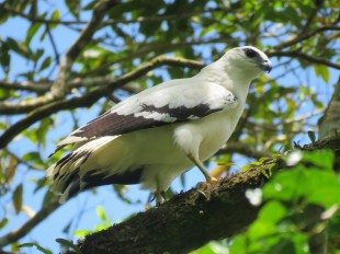 A photo of a white hawk - birdwatching Pipeline Road Panama