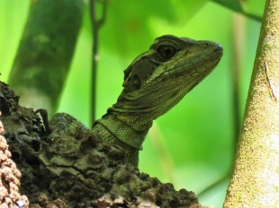 A photo of a Common Basalisk Lizard on a bird tour of Pipeline Road, Panama