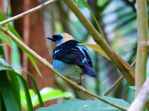 A photo of a Golden-hooded Tanager on a bird tour of Pipeline Road, Panama
