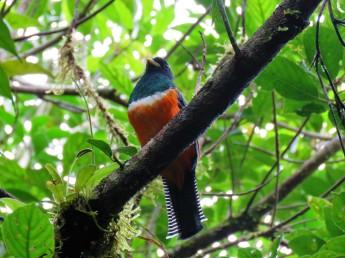 A photo of an Orange-billed Trogon at Altos De Campana National Park, birdwatching Panama