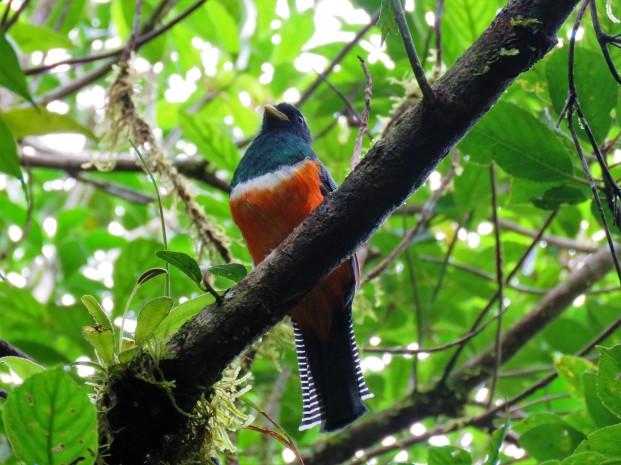 A photo of an Orange-bellied Trogon at Altos De Campana National Park, birdwatching Panama