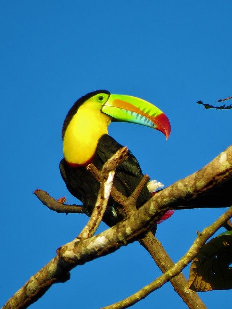 A photo of a Keel-billed Toucan on a bird tour of Pipeline Road, Panama