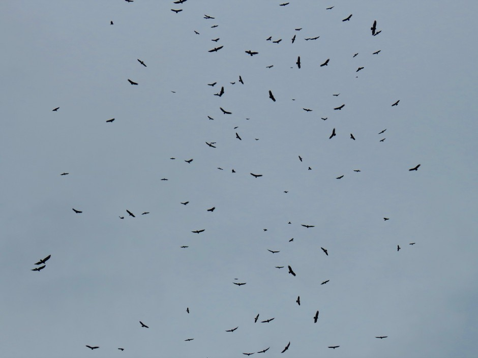 Raptors migrating through Panama - Birding with Panama Pipeline Bird Tours