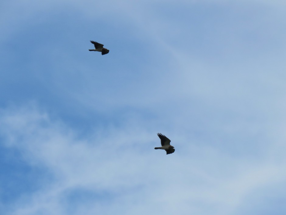 Swainson's Hawk spotted whilst birdwatching Cerro Ancon