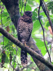 Photo of a Juvenile Collared Forest-Falcon in Gamboa whilst birdwatching with Panama Pipeline Bird Tours