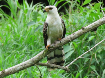 Photo of an Immature Gray-headed Kite in Gamboa whilst birdwatching with Panama Pipeline Bird Tours