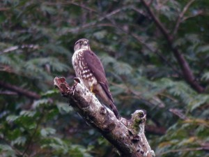 Photo of an Immature Peregrine Falcon in Gamboa birding Pipeline Road Panama