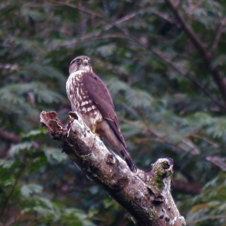 Photo of an Immature Peregrine Falcon in Gamboa birding Pipeline Road Panama