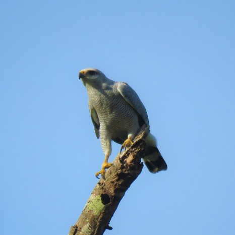 Photo of a Gray-lined Hawk Falcon in Gamboa birding Pipeline Road Panama