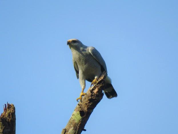 Photo of a Gray-lined Hawk Falcon in Gamboa birding Pipeline Road Panama