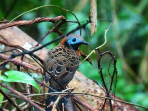 A photo of an Ocellated Antbird whilst birdwatching with Panama Pipeline Bird Tours