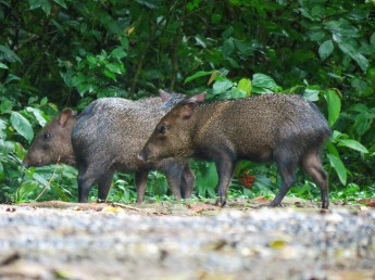A photo of Collared Peccaries whilst birdwatching with Panama Pipeline Bird Tours