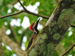 A Crimson-crested Woodpecker whilst birdwatching in Gamboa with Panama Pipeline Bird Tours