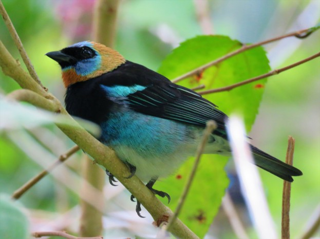 A Golden-hooded Tanager whilst birdwatching in Gamboa with Panama Pipeline Bird Tours