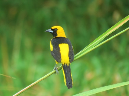 A Yellow-tailed Oriole whilst birdwatching in Gamboa with Panama Pipeline Bird Tours