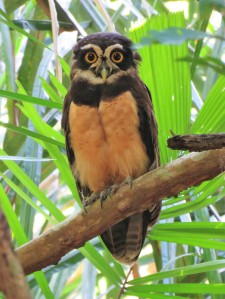 Photo of a Spectacled Owl whilst Birding Old Gamboa Road, Panama