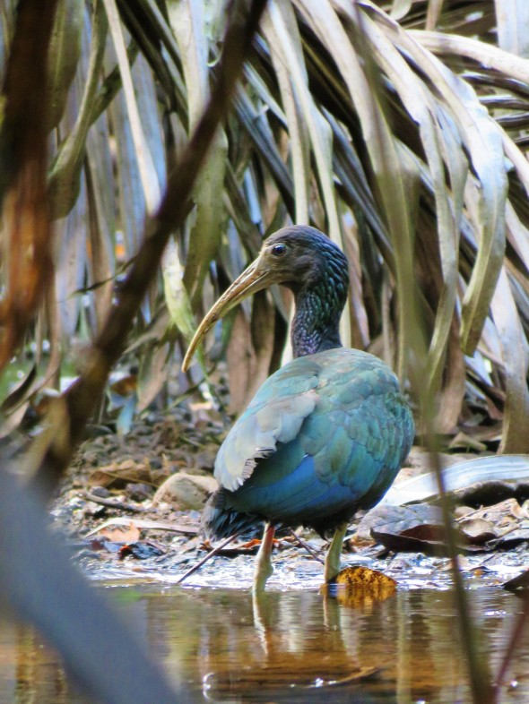 Green Ibis photographed whilst birding Pipeline Road Panama