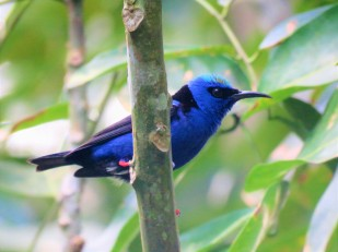 A Red-legged Honeycreeper seen whilst birding Gamboa with Panama Pipeline Bird Tours